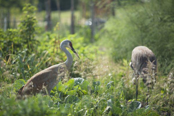 Sandhill cranes in Eagle Heights garden.