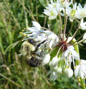 A bumblebee pollinates a flower in the Lakeshore Nature Preserve.