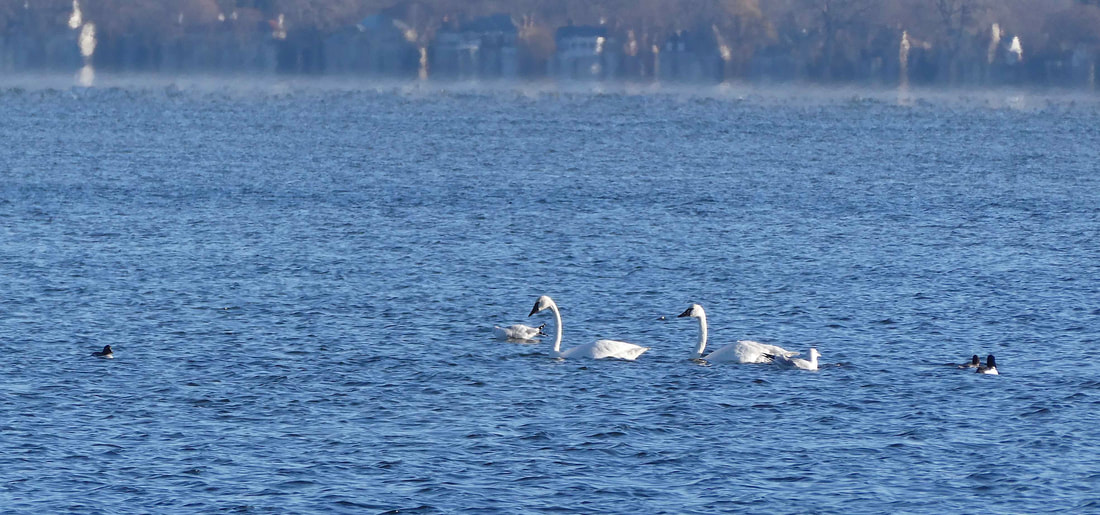 Tundra swans (seen here with gulls and buffleheads) returned to Lake Mendota on November 25. Photo by Gisela Kutzbach